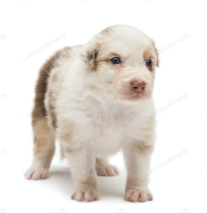 Australian Shepherd puppy, 24 days old, standing and looking away against white background