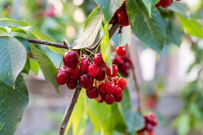 Red and sweet cherries on a branch