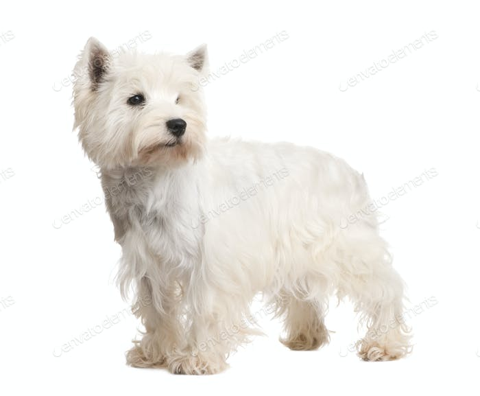 West Highland White Terrier (3 years)