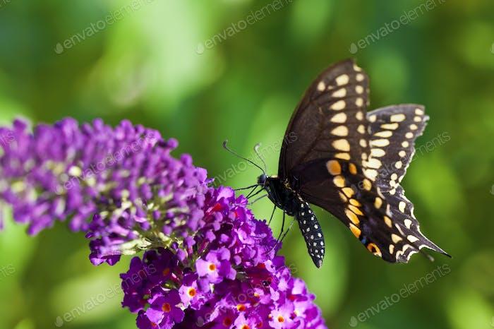 Schwarzer Schwalbenschwanz Schmetterling