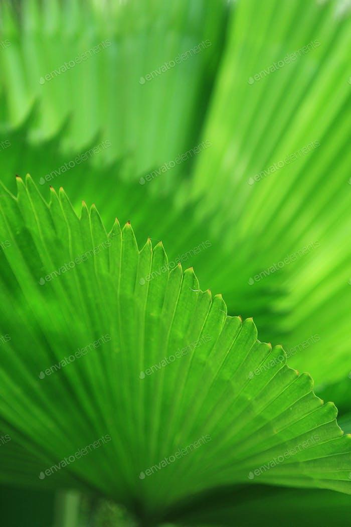 Green palm tree leaf