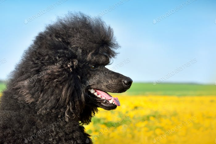 Portrait of beautiful royal black poodle