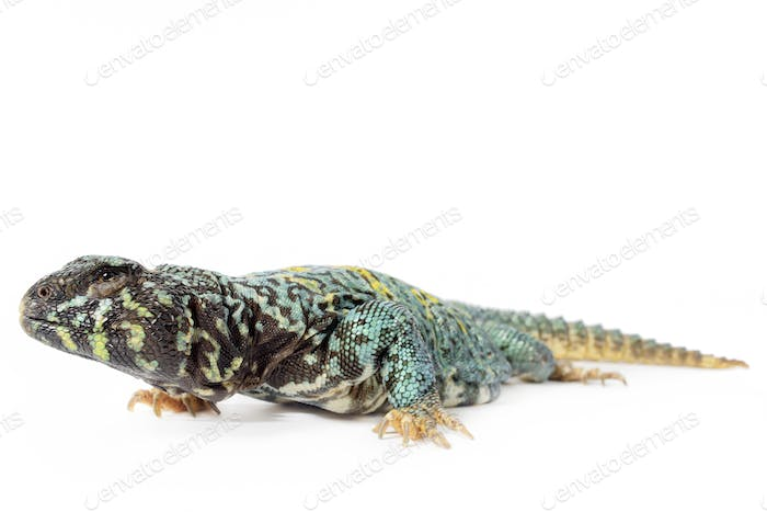 Ornate Uromastyx
