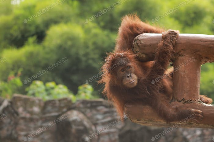 Orang utan playing