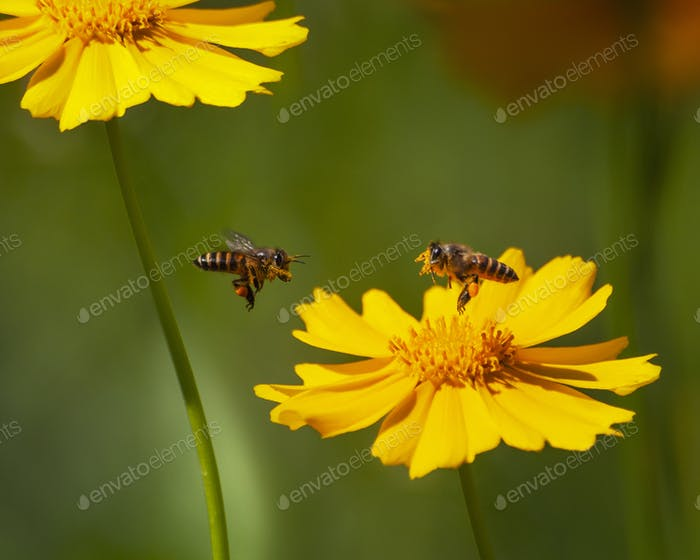 Flying Honeybee Pollinating Nectar