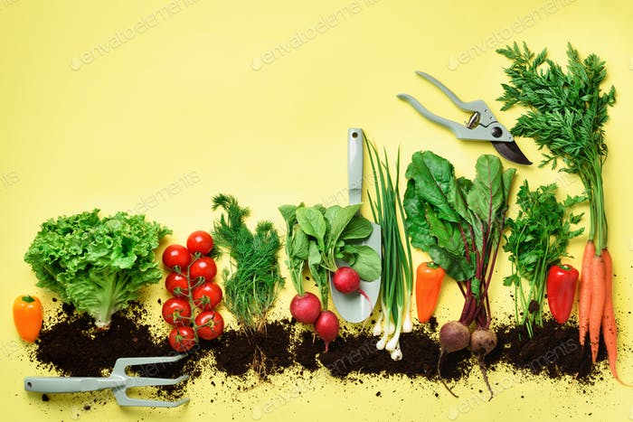 Organic vegetables and garden tools on yellow background with copy space. Top view of carrot, beet