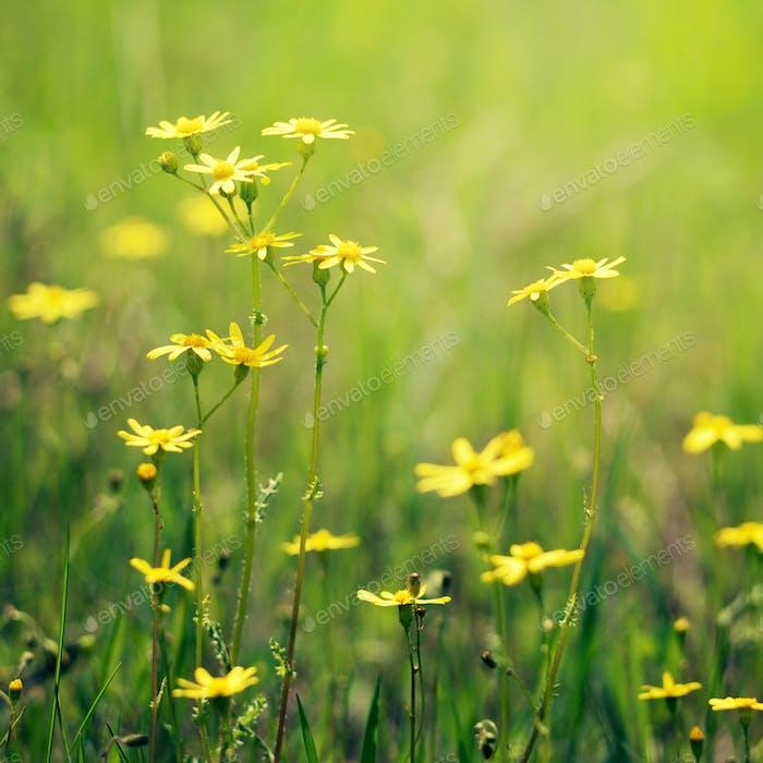 Meadow flowers closeup