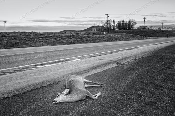 Thumbnail for Dead deer hit by a car lying by the road, Wyoming, USA.