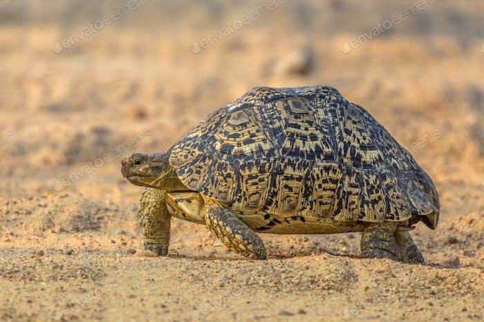 Leopard tortoise walking