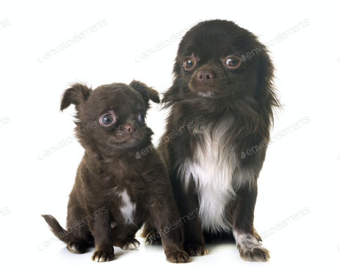 two chihuahua in studio