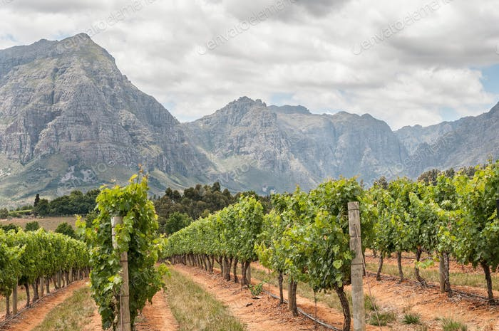 View of vineyards near Stellenbosch