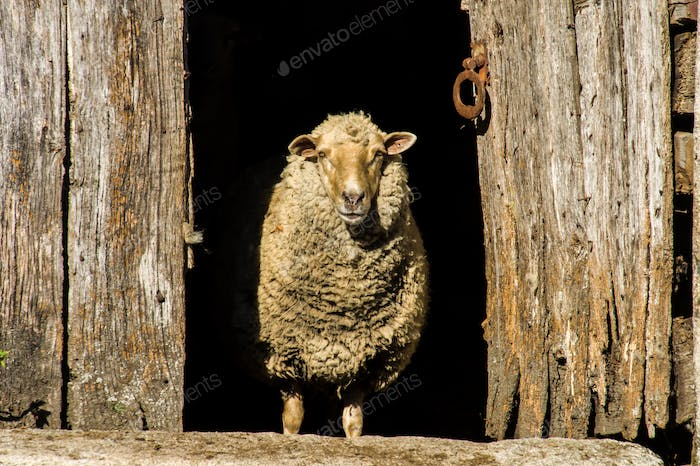 Wool Sheep and an Ancient Wooden Door