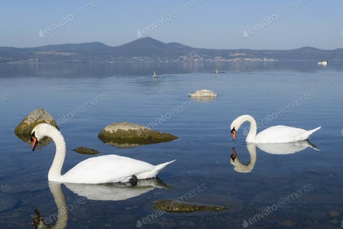 Family of swans swimming on a  lake