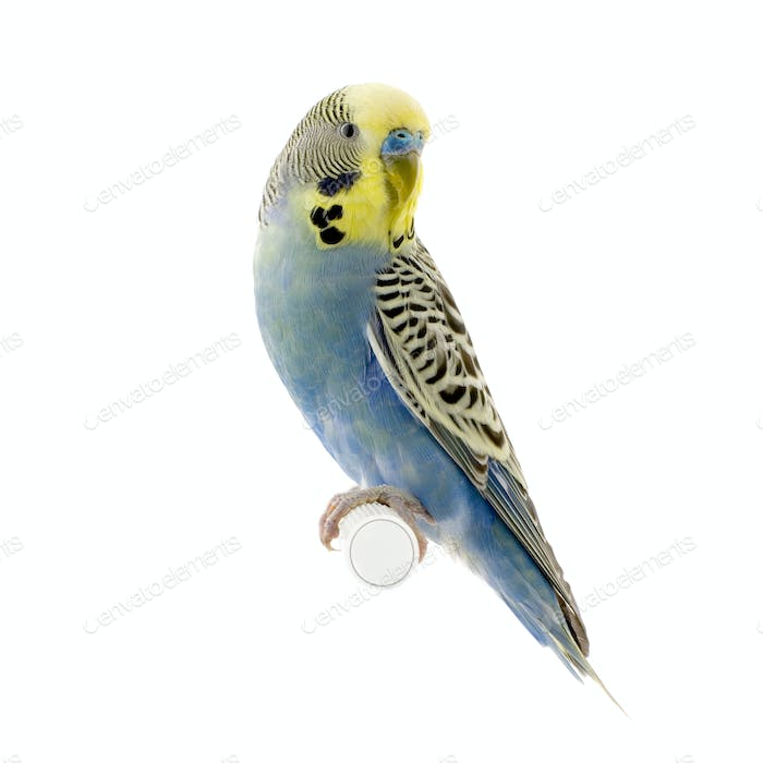 yellow and blue budgie