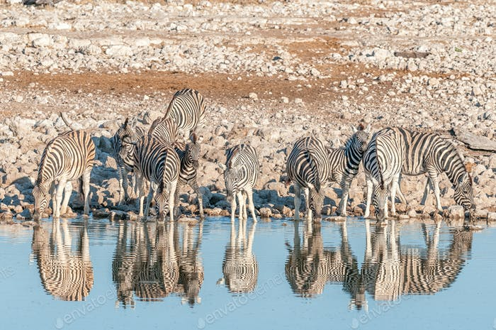 Burchells Zebras (Equus quagga burchellii) with reflections drinking water