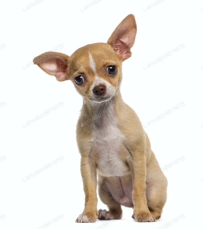Chihuahua puppy sitting (3 months old)