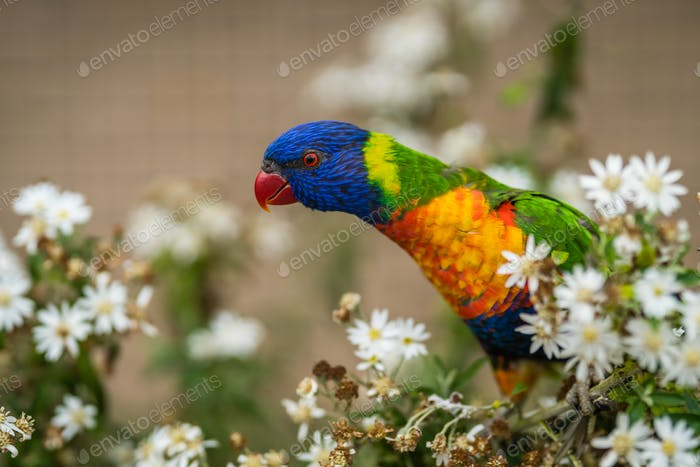 Colourful parrot Rainbow called Lorikeet