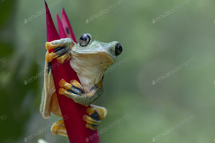 Tree Frogs Flying Frogs on Heliconia