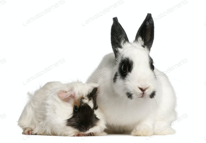 Dalmatian rabbit, 2 months old, and an Abyssinian Guinea pig, Cavia porcellus