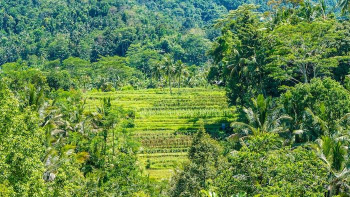 Rice tarraces near Jungle in Sidemen on Sunny Day, Bali, Indonesia