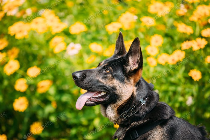 Portrait Of Staring Purebred German Shepherd Adult Dog, Alsatian