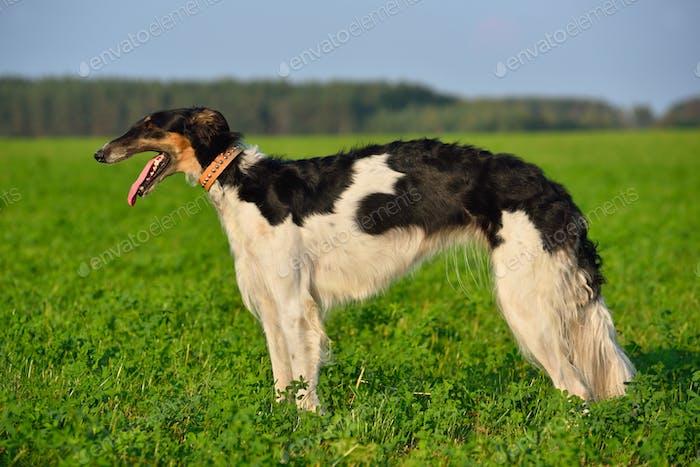 Borzoi dog on green grass