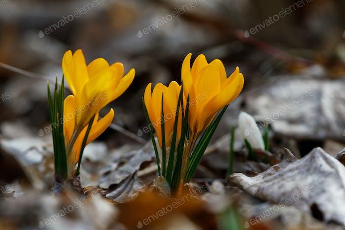 Krokusse schließen an einem sonnigen Frühlingstag (Crocus flavus)