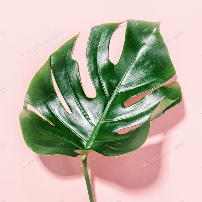 Monstera green leaf on pink
