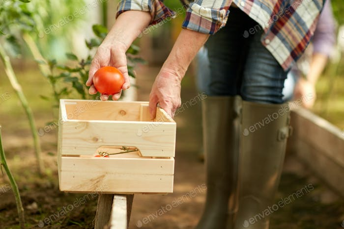 senior woman picking tomatoes at farm greenhouse