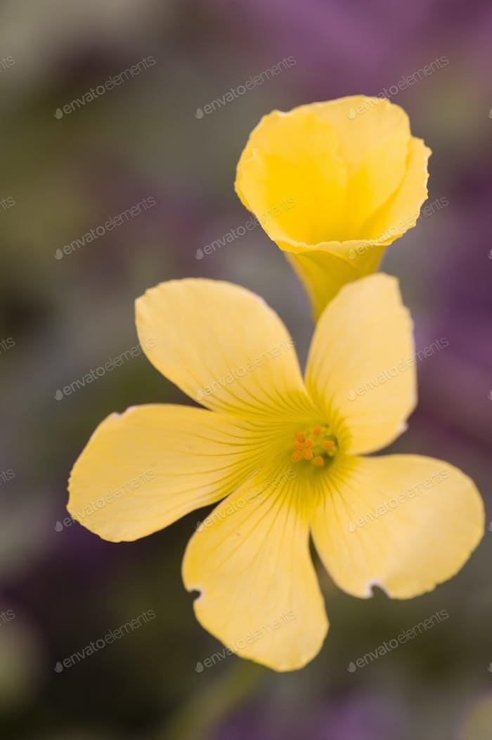 Gelbe Blüten von Clower Pflanzen