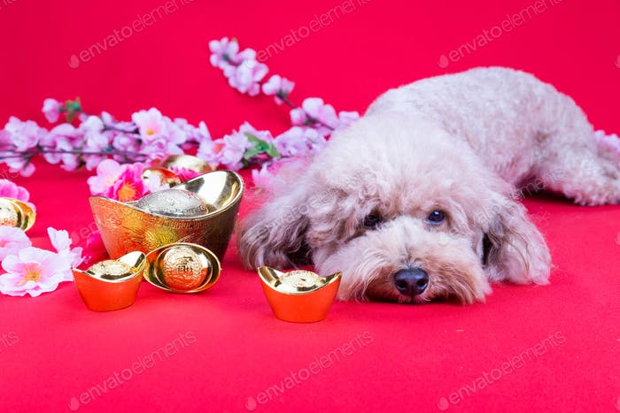 Dog in Chinese New Year festive setting in red background