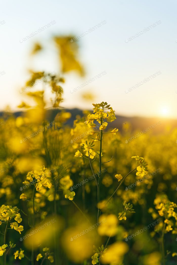 Detail of flowering rapeseed canola or colza