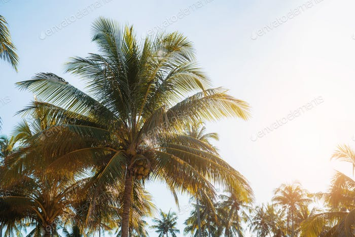 Coconut tree with sunlight