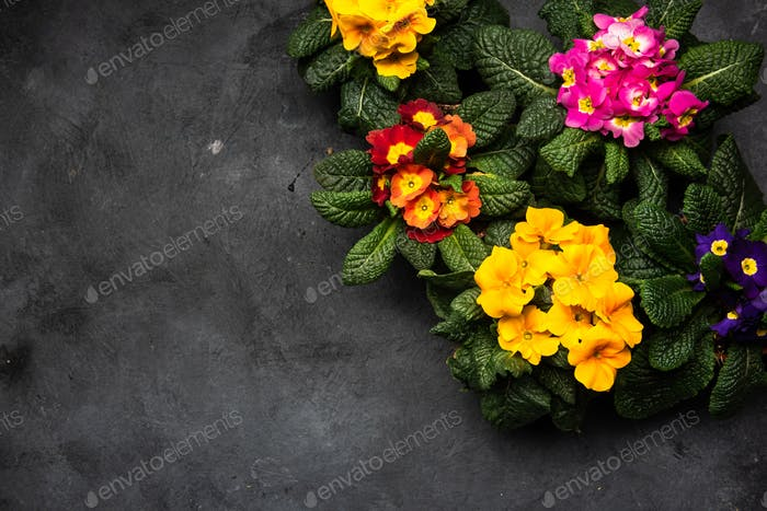 Primula Vulgaris or Primrose Blooming at Early Spring, Border Background, Top View