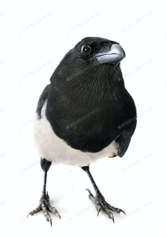 Eurasian Magpie