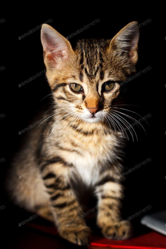 Little kitten on black