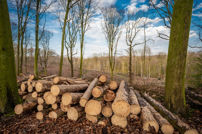 Forest deforestation tree concept, logging. Pile of firewood in nude deciduous forest