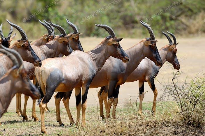 Topi-Antilope (Damaliscus lunatus)