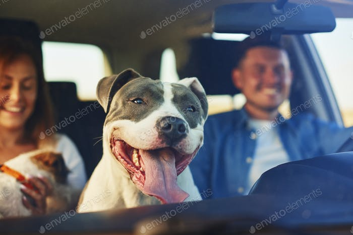 Happy dog as passenger in car