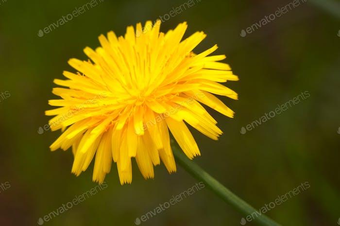 Flower ( crepis vesicaria )