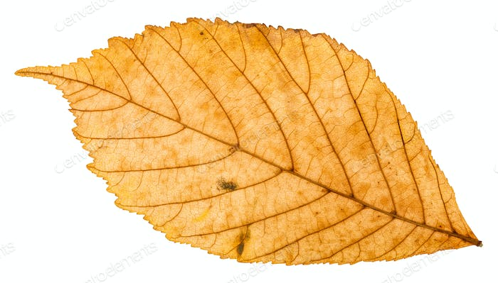back side of yellow autumn leaf of parthenocissus