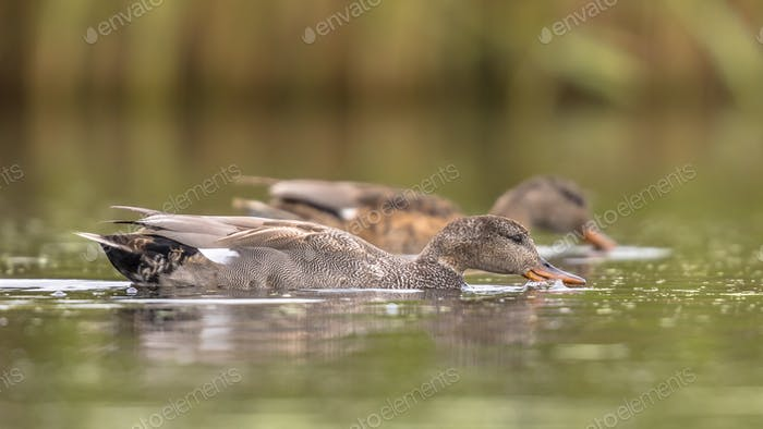 Gadwall couple waterbirds