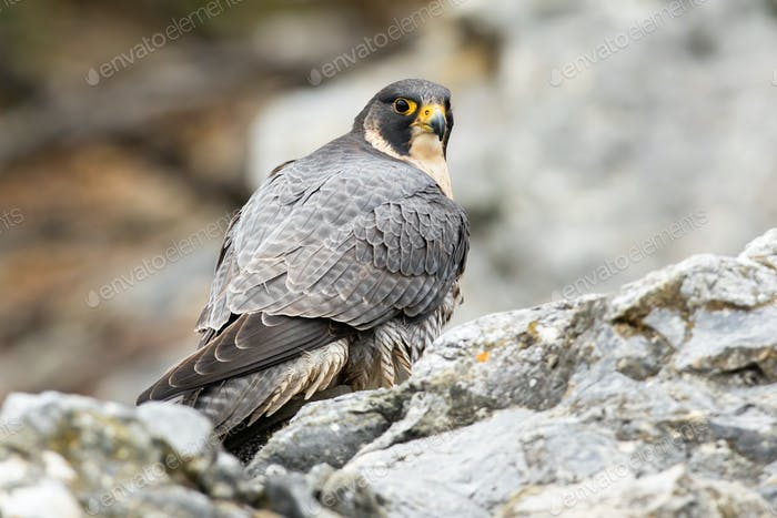 Peregrine falcon sitting on rock in autumn nature