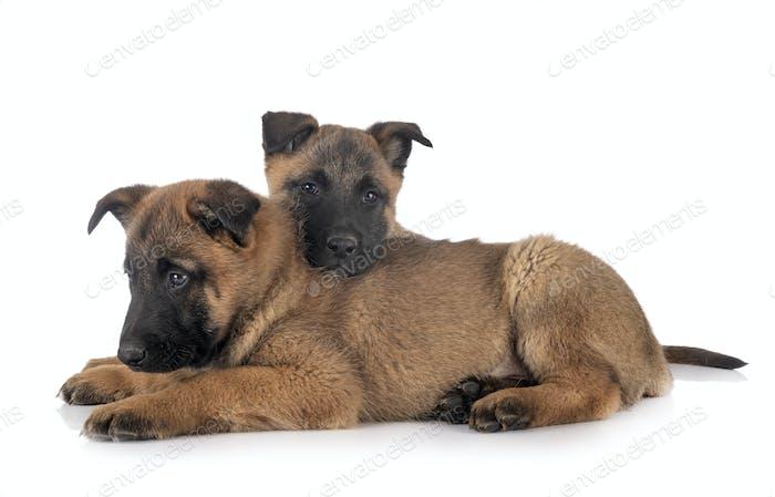 puppies malinois in studio