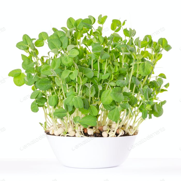 Snow pea microgreen in white bowl and potting compost