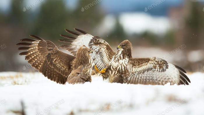 Two common buzzard fighting on snow in winter nature