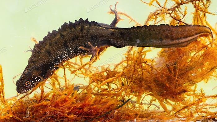 Male danube crested newt hiding between water grass on bottom of river