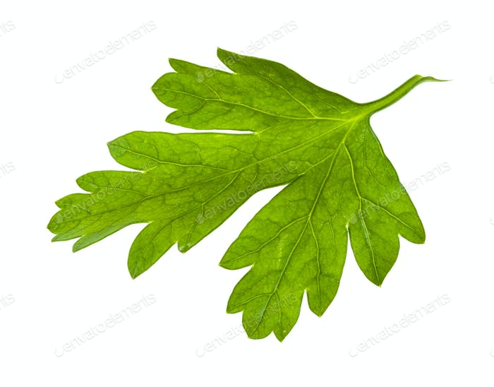 green leaf of fresh parsley herb isolated