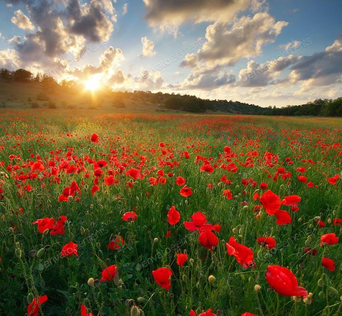 Poppy meadow landscape