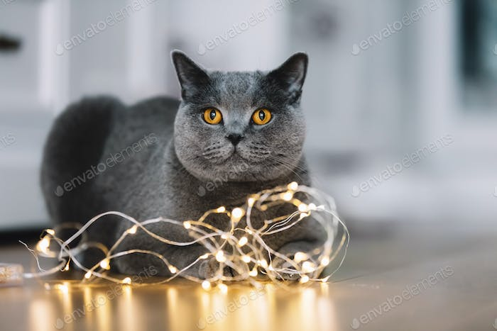 Grey cat playing with a string of lights